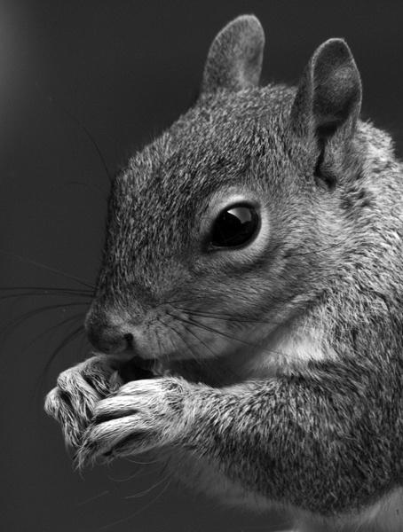 Grey Squirrel by bppowell