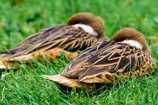 Quack by AlanPerkins