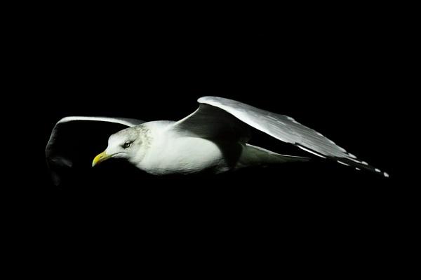 night gull by ireid7