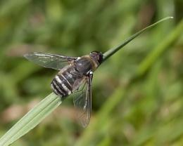 Hornet (I Think)