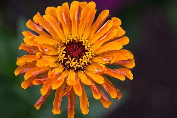 Burst of Orange by GillR