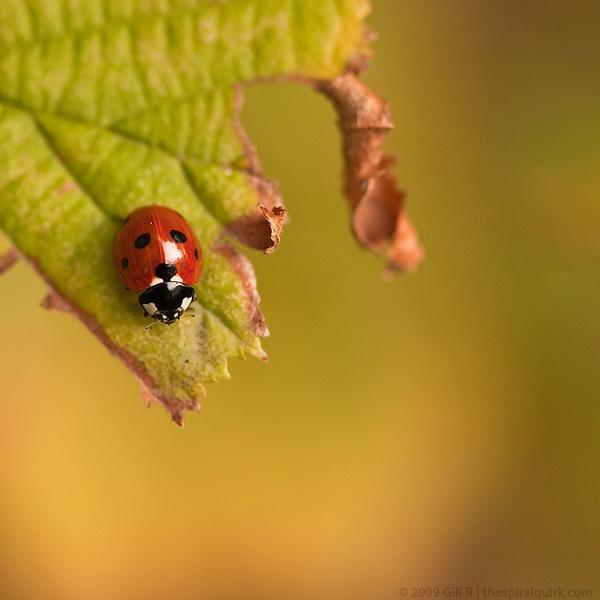 Ladybird by GillR