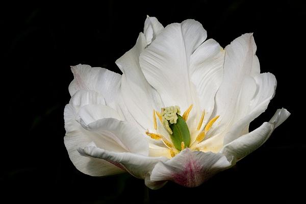 Tulip by GillR
