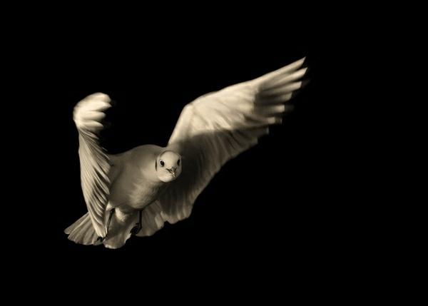 Gull landing approach by Flashman01