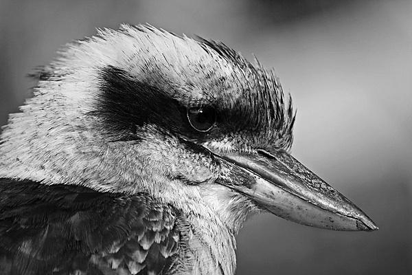 Kookaburra by amato