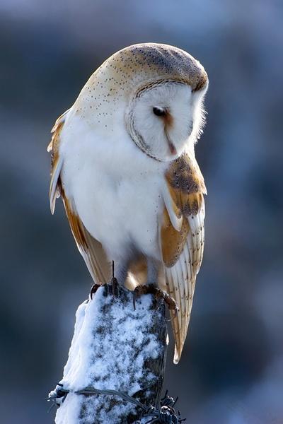 Snowy Barn Owl by nigelpye