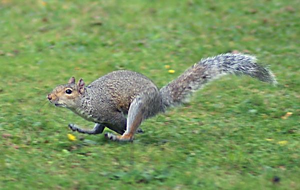 Running Squirrel by SiSheff