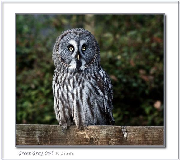 Great Grey Owl by Mynett