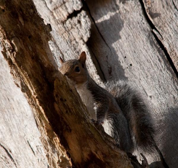 Grey Squirrel in Grey tree by jrpics