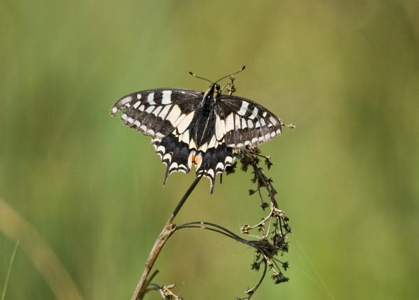 Swallowtail by jrpics