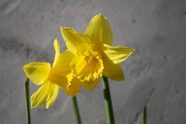 Daffodils by SerenBach
