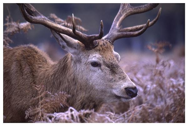 Red Deer  Portrait by rontear
