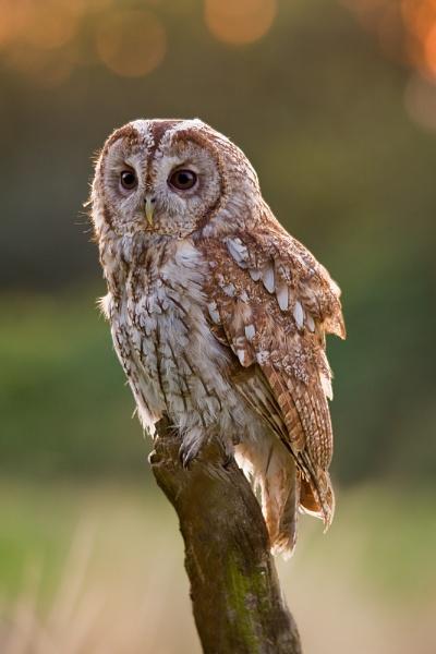 Tawny Owl (C) by paulrosser