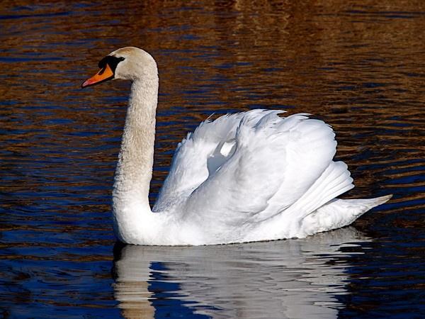 Swan by Paul_H