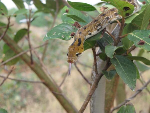 Common Trinket Snake by Chaitanya