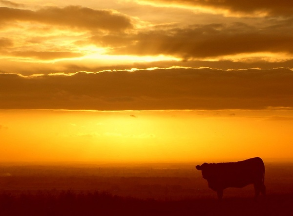 Sunset Cow by Almac1961