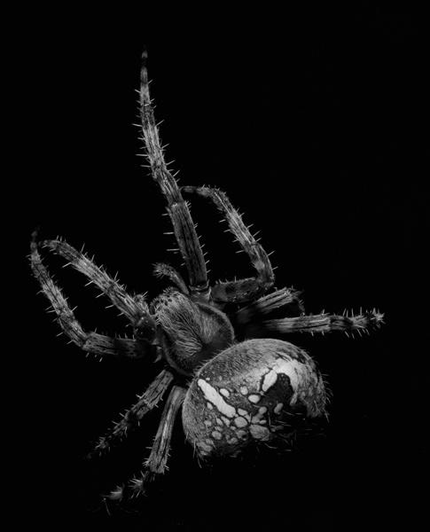 Garden Spider by vonbatcat
