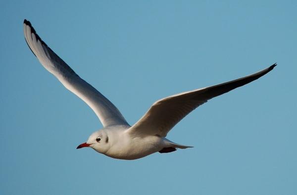 Black Headed Gull In Flight by ijaceone