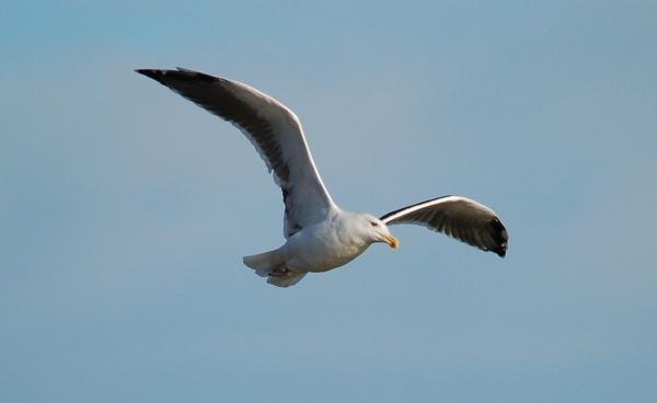 Herring Gull by ijaceone