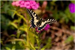 Swaollowtail Butterfly