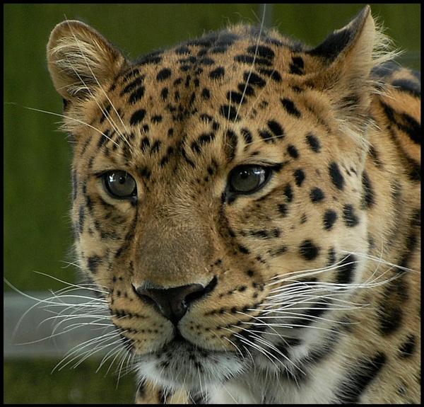 Amur Leopard by Maiwand