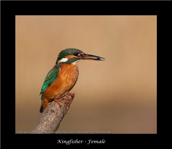 Female Kingfisher by harrattp