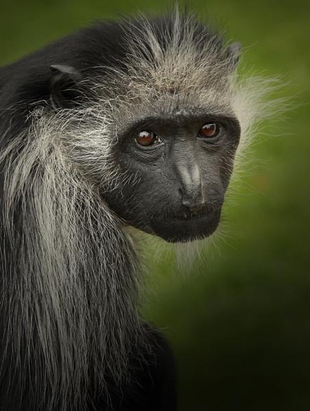 Diana Monkey (c) by SurreyHillsMan