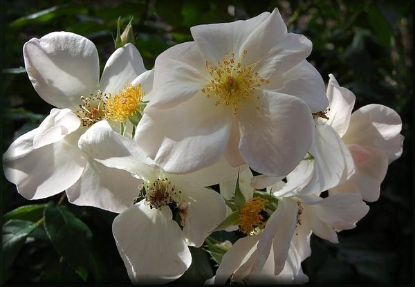 rose garden white by CherryMartin