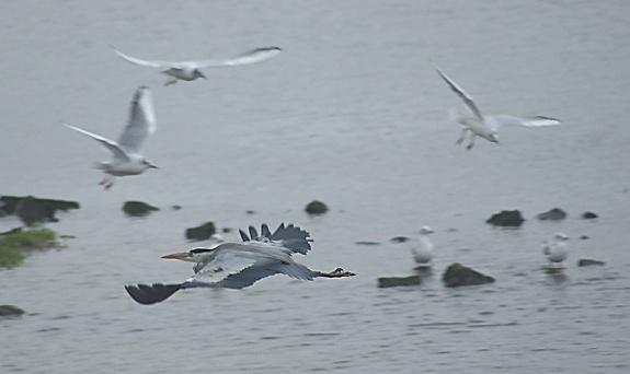 Heron Gull by SiSheff