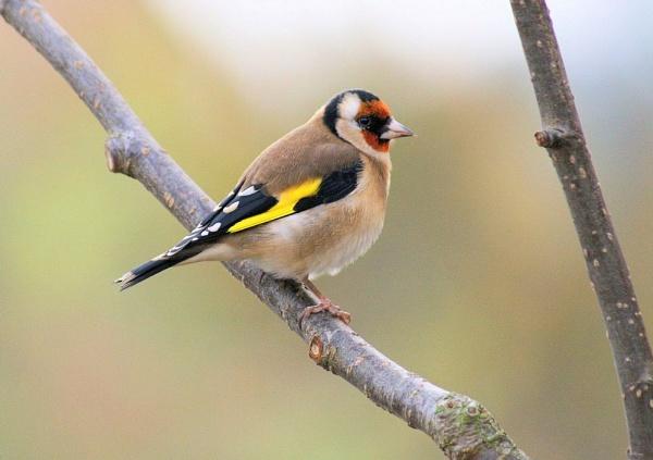 Goldfinch by Kevhan