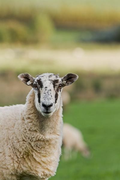 Penrith Sheep by Overread