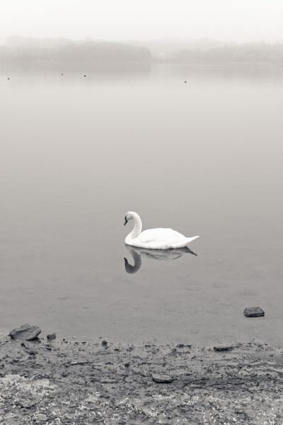 Swan - Staunton Harold Resevoir by smartiemart