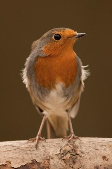 Robin 2 by lammypaul