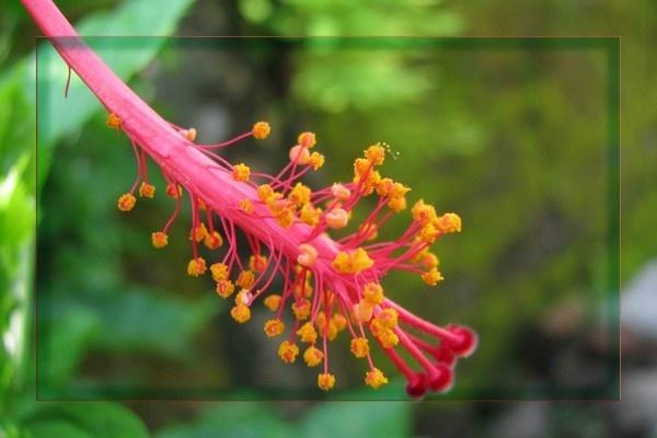 Hibiscus by samarmishra