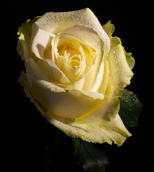 White Rose by janeez