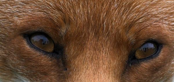 Eyes of the Fox by Karrol