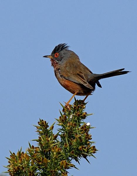 Dartford Warbler by chalkhillblue