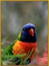 Rainbow Lorakeet by x_posure