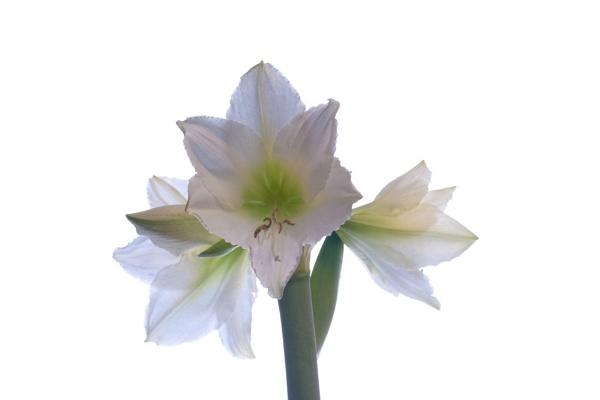 White Hippeastrum Flower by JackAllTog