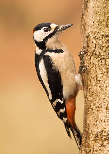 Great Spotted woodpecker by paulrosser