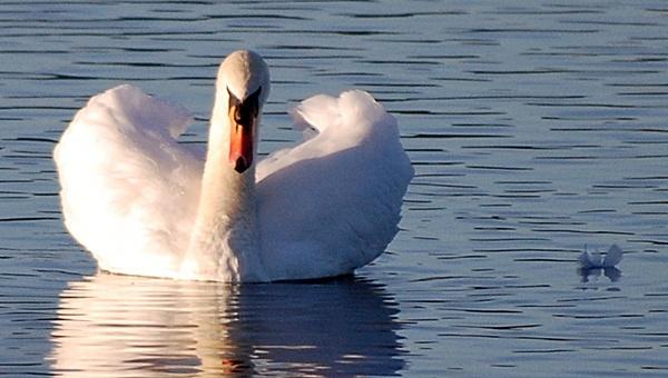 swan by linda68