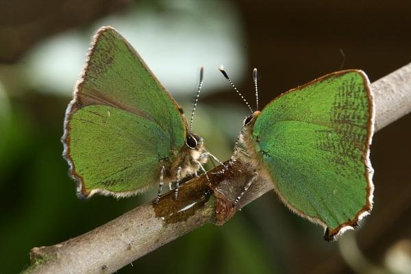 green hairstreaks by jerrythesnake