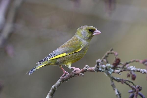 greenfinch by jerrythesnake