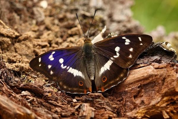 purple emperor by jerrythesnake