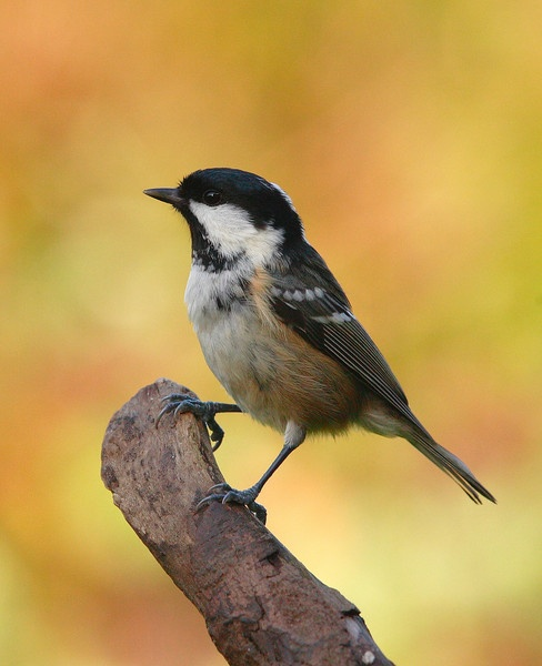 Coal Tit Periparus ater by forestfotos