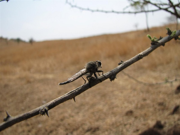 Robber Fly by Chaitanya