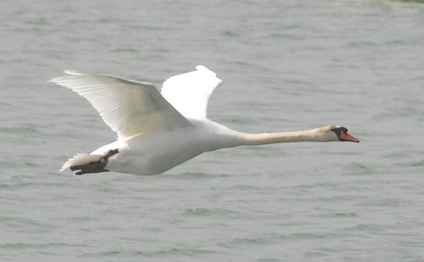 swan flying by kieranmccay