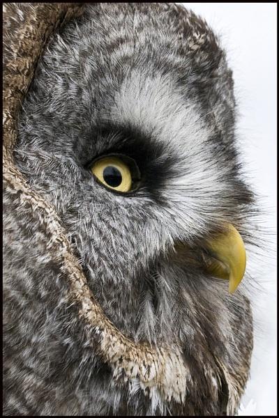 Short Eared Owl by roseyemma