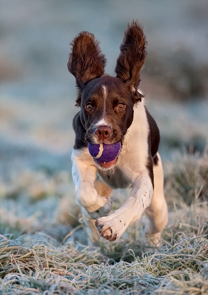 Springer Spaniel by John_Wannop
