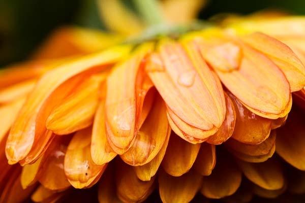 Battered Chrysanth by AlanPerkins